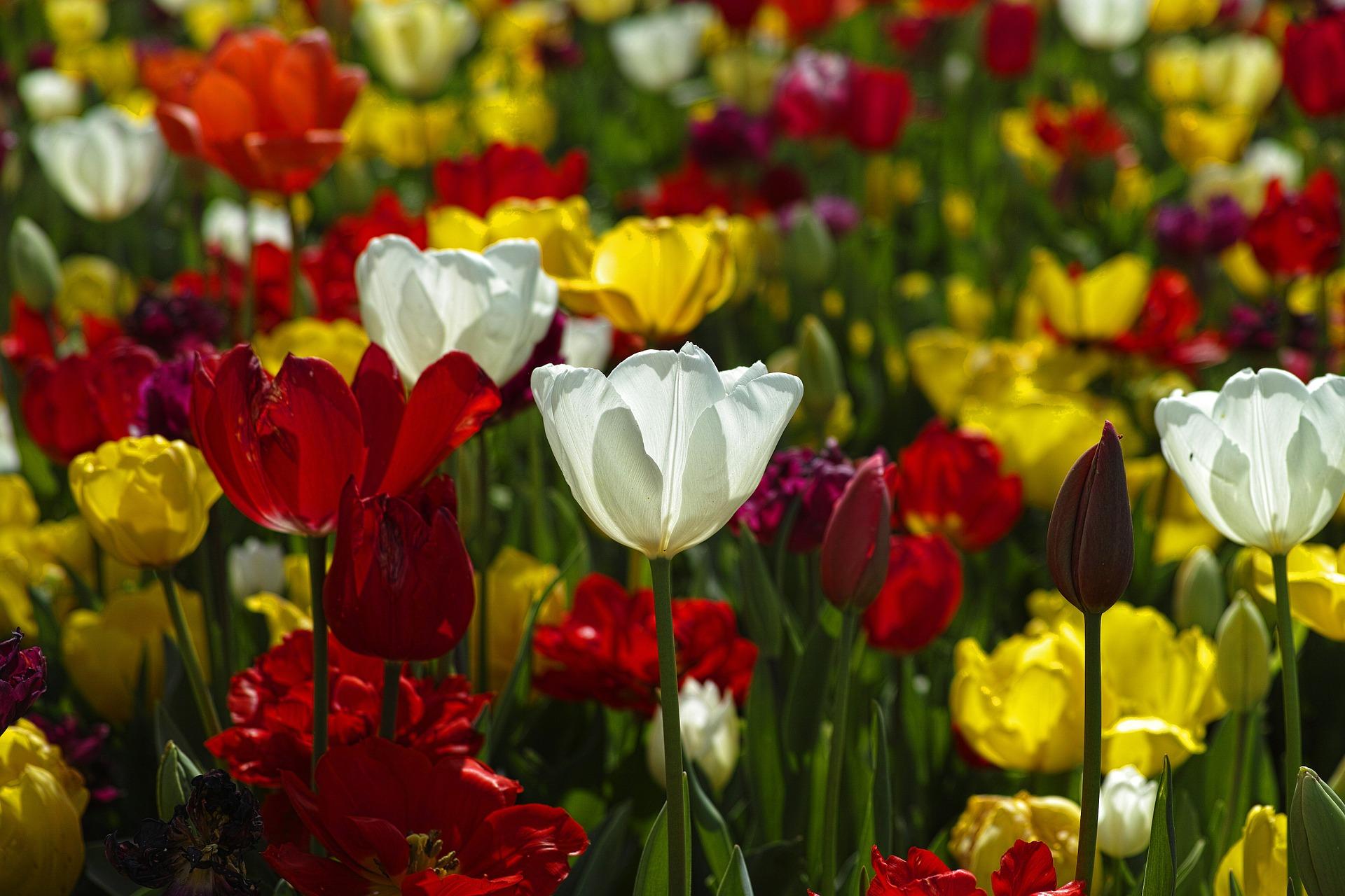 tulips-1511854_1920